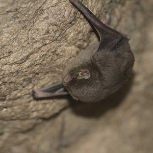 habitat_Miniopterus-schreibersii